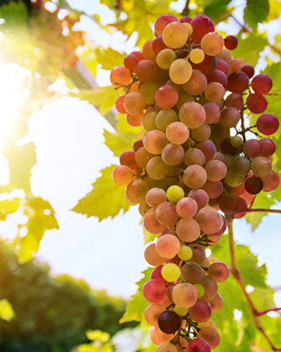 autumn coloured grapes growing on vine