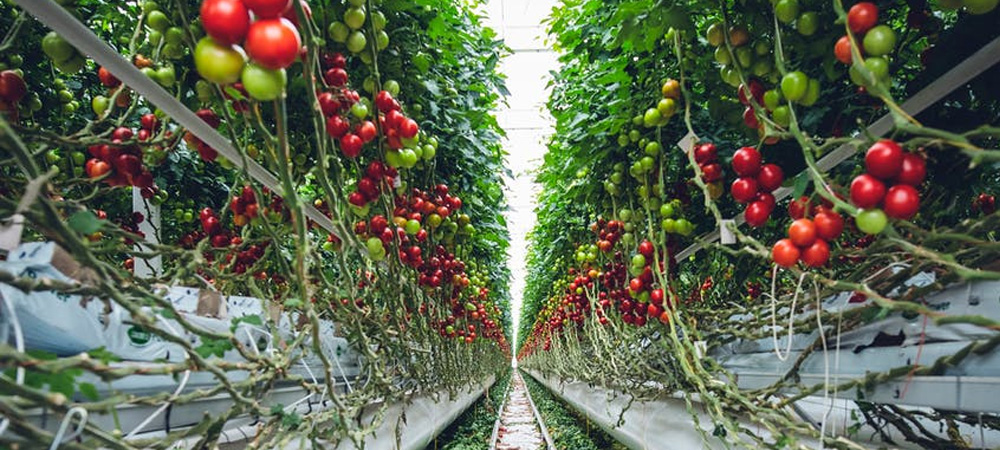 Tomato Grow Bags Or Tomato Pots Greenhouse Growing Guide